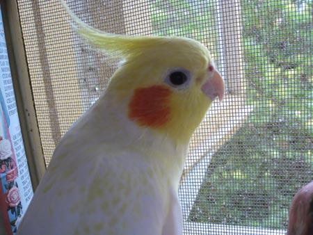 Hedwig the Cockatiel