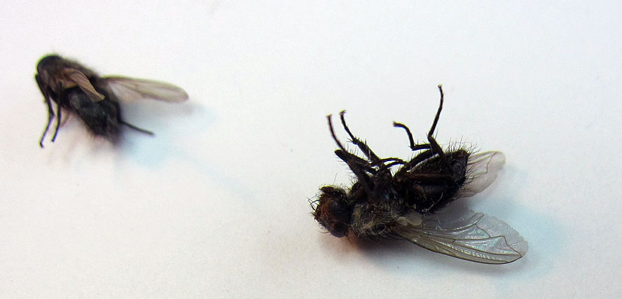 two-dead-flies