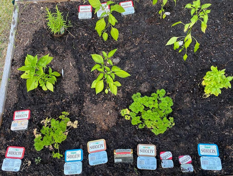 A garden bed littered with altoid tins.